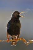 Canto ardente di Starling Immagini Stock