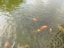 Canto cinese dell'uccello dello stagno di pesce della carpa a specchi del parco del giardino di Zhuhai archivi video