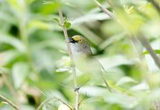 Canto dagli occhi bianchi dell'uccello canoro del Vireo in Bradford Pear Tree, Georgia U.S.A. immagine stock