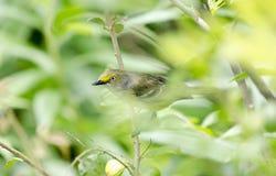 Canto dagli occhi bianchi dell'uccello canoro del Vireo in Bradford Pear Tree, Georgia U.S.A. fotografie stock
