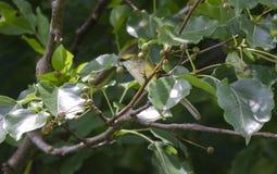 Canto dagli occhi bianchi dell'uccello canoro del Vireo in Bradford Pear Tree, Georgia U.S.A. immagini stock