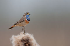 Canto del Bluethroat Immagine Stock