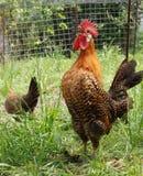 Canto del gallo. Immagini Stock