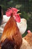Canto del gallo Immagine Stock