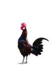 Canto del gallo - martillo en una hierba Fotos de archivo libres de regalías