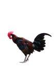 Canto del gallo - martillo en una hierba Imagen de archivo libre de regalías