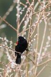 Canto del merlo sul ramoscello nell'Idaho Fotografia Stock