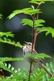Canto del passero di canzone Fotografie Stock