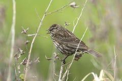 Canto del passero di canzone su un ramoscello Fotografia Stock Libera da Diritti