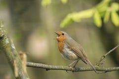 Canto del pájaro del petirrojo del petirrojo Imagen de archivo libre de regalías