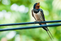 Canto dell'uccello del sorso sul cavo fotografie stock libere da diritti