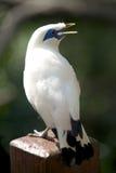 Canto dell'uccello di myna di Bali sulla posta del corrimano Immagine Stock