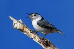Canto do pássaro Foto de Stock