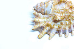 Canto do shell do mar Imagem de Stock Royalty Free