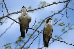 Canto empoleirado pássaros de Brubru Fotografia de Stock Royalty Free