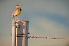Canto Meadowlark occidentale fotografia stock libera da diritti