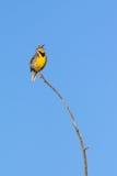 Canto Meadowlark occidentale Immagini Stock