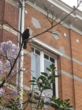 Canto nero dell'uccello nel ramo degli alberi immagine stock libera da diritti