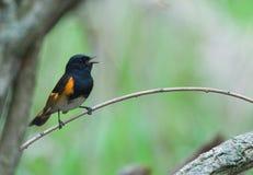 Canto Redstart americano Imagen de archivo libre de regalías