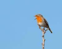 Canto Robin Immagini Stock Libere da Diritti