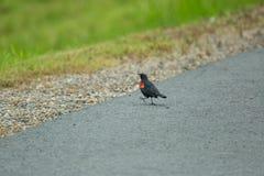 Canto rosso del merlo dell'ala per il compagno fotografia stock