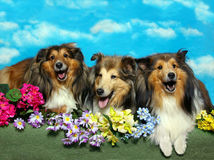 Canto Shelties Fotografia Stock