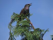 Canto Starling Fotografia Stock Libera da Diritti