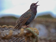 Canto Starling Imagens de Stock Royalty Free