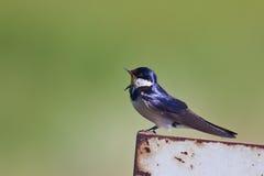 Canto throated bianco dello swallow fotografie stock