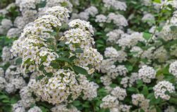 Cantoniensis de florescência do Spiraea de Spirea Flores de Spirea em flores brancas pequenas foto de stock