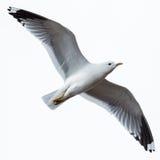 Canus do Larus, gaivota comum Foto de Stock Royalty Free