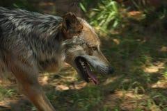 Canus lupus baileyi Mexican Grey Wolf Stock Photography