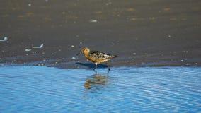 Canutus узла или Calidris Shorebird красное идя на море портрет конца-вверх бечевника, выборочный фокус, мелкий DOF стоковые изображения