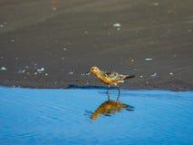 Canutus узла или Calidris Shorebird красное идя на море портрет конца-вверх бечевника, выборочный фокус, мелкий DOF стоковые изображения rf