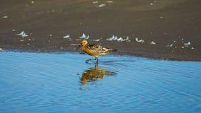 Canutus узла или Calidris Shorebird портрет конца-вверх бечевника красного на море, выборочный фокус, мелкий DOF стоковое фото
