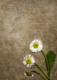 Canvas background with daisies royalty free stock image