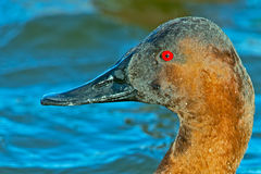 Canvasback Stock Photography