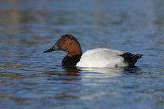 Canvasback, Aythya valisineria Stock Photos