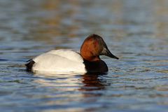Canvasback, Aythya valisineria Royalty Free Stock Photography