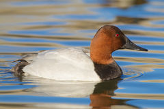 Canvasback Drake Royalty Free Stock Photos