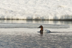 Canvasback Duck Royalty Free Stock Image