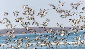 Canvasback Duck Chaos Lizenzfreie Stockbilder