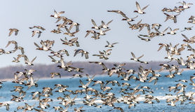 Canvasback Duck Chaos Royalty Free Stock Images