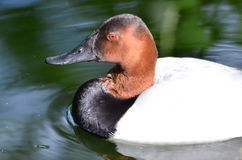 Canvasback duck Stock Photography