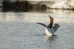 Canvasback Duck Stock Images