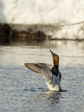 Canvasback Duck Royalty Free Stock Photos