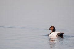 Canvasback Duck. Swimming on the marsh royalty free stock image