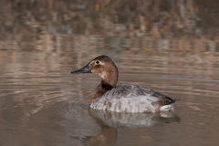 Canvasback duck Stock Photo