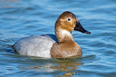 Canvasback Stock Photos