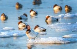 Canvasback kaczki pozycja na lodzie w Chesapeake zatoce Obrazy Royalty Free